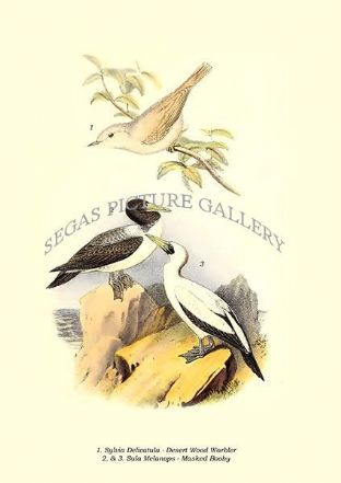 Sylvia delicatula - Desert Wood Warbler, Sula melanops - masked booby